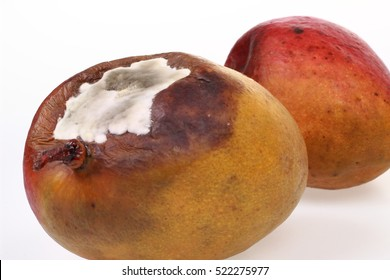 Two mangoes with detail rot and mold on the white background