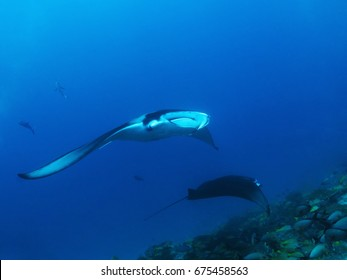 Two manta rays in the Maldives
