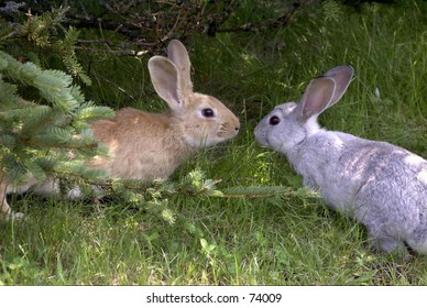 Two of the many Rabbits running wild at the Spruce Valley Campground, on Mount Desert Island, Maine