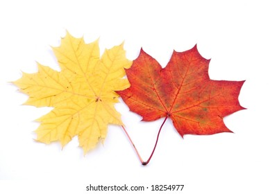 Two maple leaves isolated on white