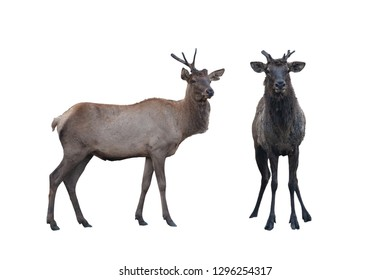 Two marals male and female isolated on a white background. Image with clipping path.