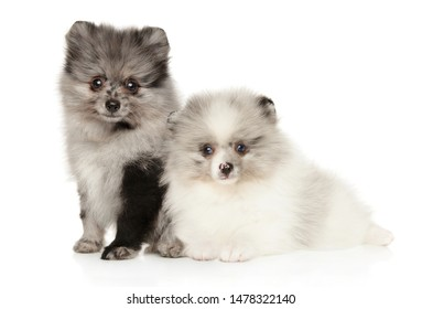 Two marble color Pomeranian puppies posing on white background