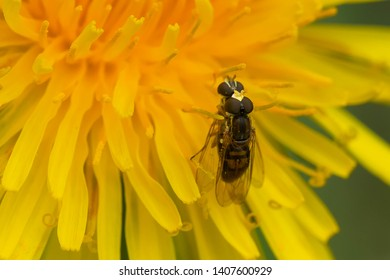 Two Margined Calligrapher s are mating on a dandelion flower. Taylor Creek Park, Toronto, Ontario, Canada.