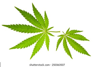 Two marijuana leaves  isolated on white
