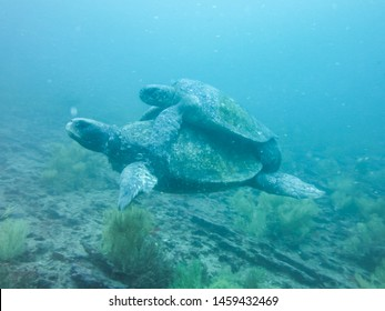 two Marine turtle mating underwater in galapagos islands, ecuador