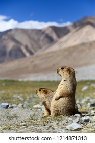 two Marmots in Ladakh
