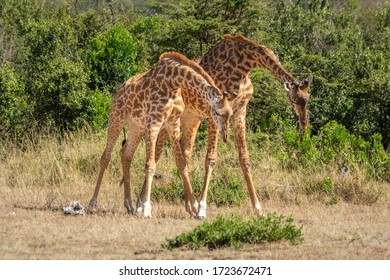 Two Masai giraffe stand with lowered heads