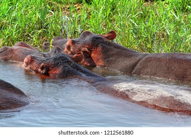 Two massive hippos, seen from the behind, partially out of the water right next to the grassy shore.