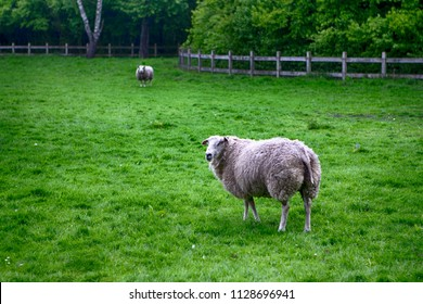 Two Mature Sheep Pasturing on Green Grass Outdoors. Horizontal Image Composition