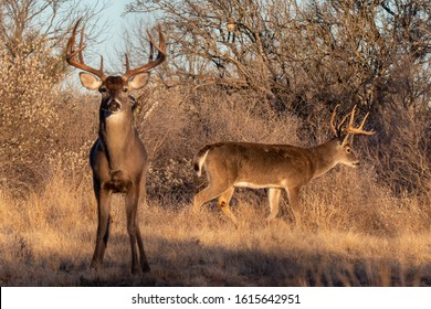 Two mature whitetail bucks in South Texas