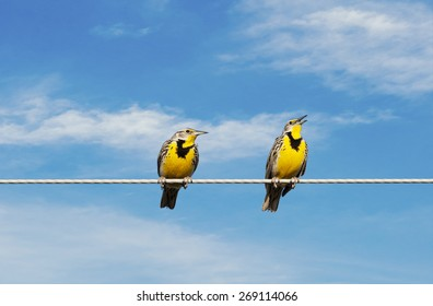 Two Meadowlarks on a wire.  One is singing while the other looks on in disgust.