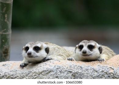 Two meercat looking