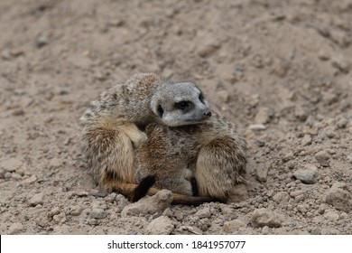 Two Meerkat cuddling for warmth, one meerkat curled up and the other resting his head on the curled up meerkat