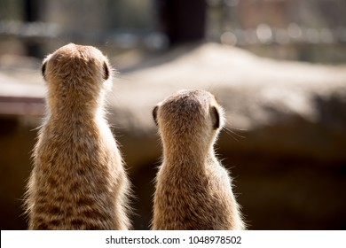 Two Meerkat sitting side by side
