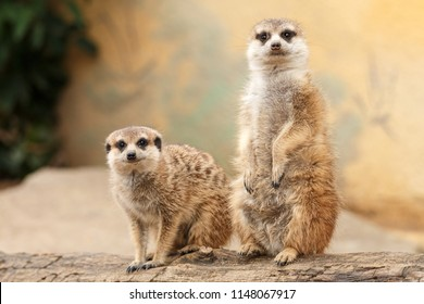 Two meerkats on a log with light blurred background. Pair of cute suricates looking at camera.
