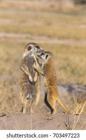 Two Meerkats standing in the Kalahari Desert in Botswana, Africa.