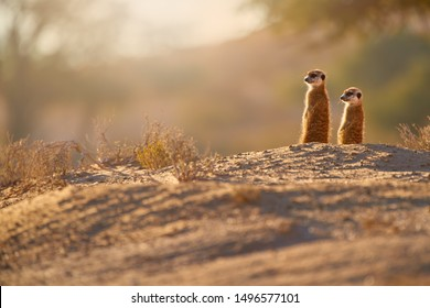 Two Meerkats, Suricata suricatta, african small carnivores watching surroundings in freezing morning of Kalahari desert. Low angle photo.  Wild suricates on sand, basking in the sun, Botswana safari.