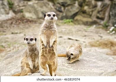 Two meerkats, wildlife