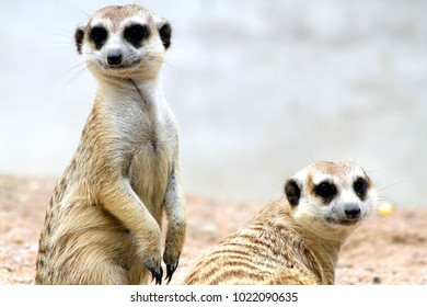 Two Meerkets are standing on the sand floor.