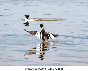Two Mergansers in playing around in Grand Traverse Bay in Northern Michigan.