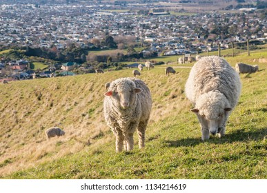 two merino sheep grazing on Wither Hills above Blenheim, New Zealand
