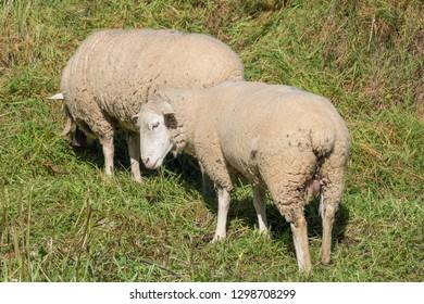 Two merino sheep grazing in the pasture