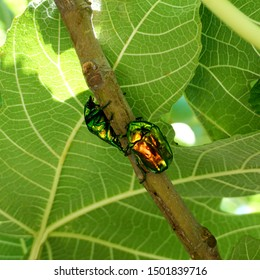 Two metallic structurally colored green bronze beetle Cetonia aurata called the green rose chafer on the fig branch