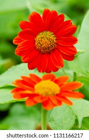 Two Mexican sunflowers like reflection image
