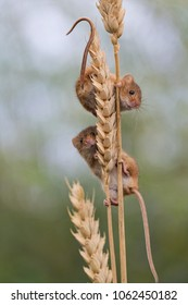 Two mice climbing on a corn shaft.