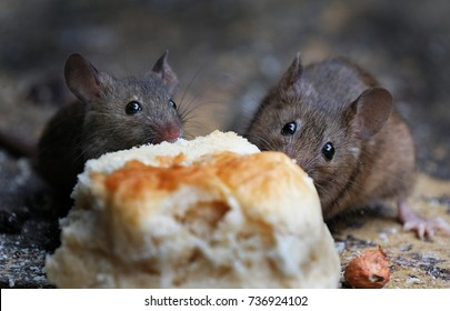 Two mice feeding on baked scone in urban house garden.
