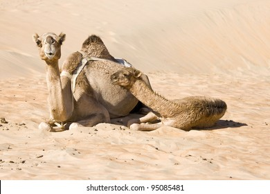 two middle eastern camels resting in a desert