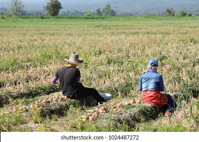Two migrant workers  picking up onions by hand in the field in sunny day.