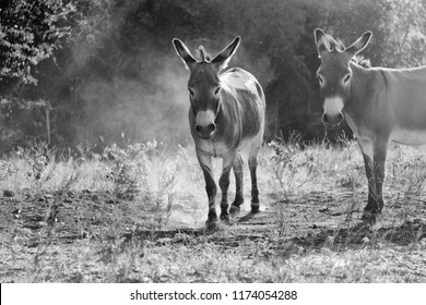 Two mini donkeys looking at camera with dirt movement in the background.  Black and white domestic animals on farm.