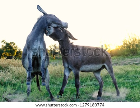 Two Mini Donkeys Playing On Rural Stock Photo (Edit Now) 1279180774