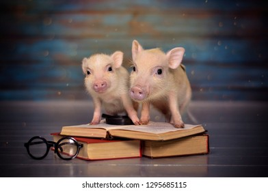 Two mini pigs with books on a blue background