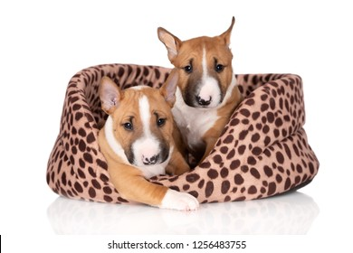 two miniature bull terrier puppies on white