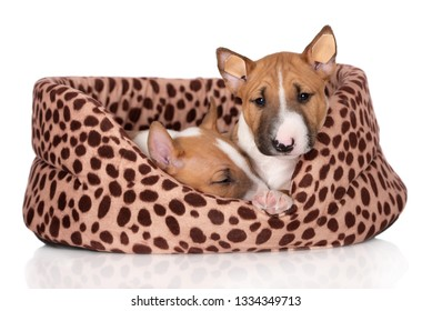 two miniature bull terrier puppies resting in a soft dog bed together
