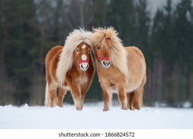 Two miniature shetland breed ponies standing on the snowy field in winter