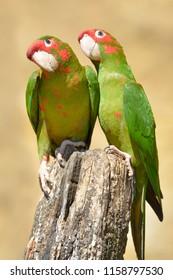 Two Mitred Parakeets, Psittacara mitratus or Aratinga mitrata, on wood post looking the photograph