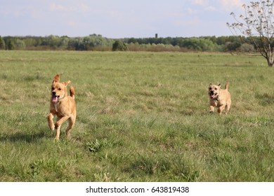 Two mixed breed dogs running and playing on a green field