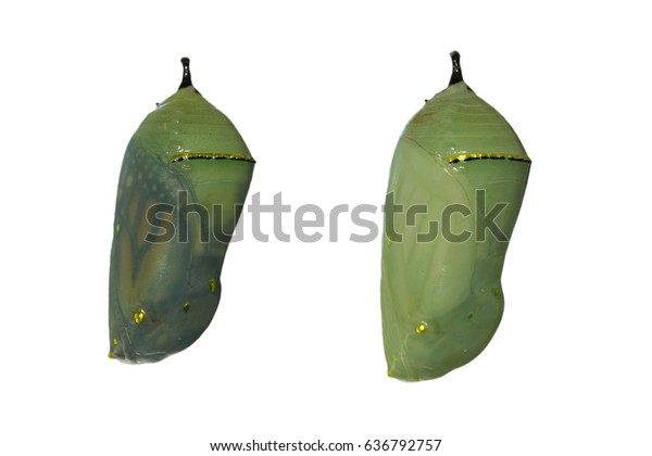 two-monarch-butterfly-chrysalises-one-60