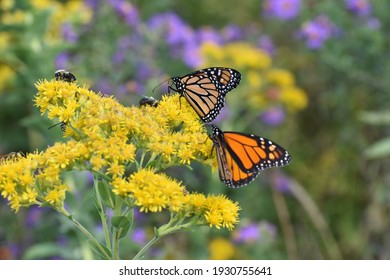 Two monarchs on a yellow flower