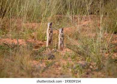 Two mongooses standing upright in the desert savannah, throwing a watchful eye on the surroundings.