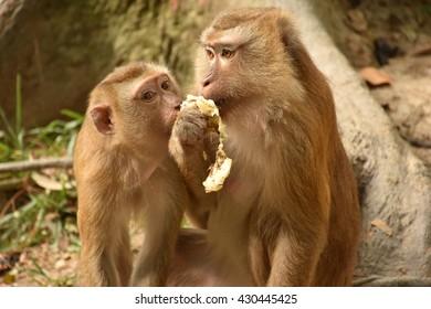 Two monkey eating banana