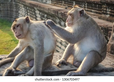 Two Monkey Find a tick at Angkor Wat in Siem Reap, Cambodia