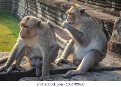 Two Monkey Find a tick and look at the camera and eat ticks at the camera at Angkor Wat in Siem Reap, Cambodia