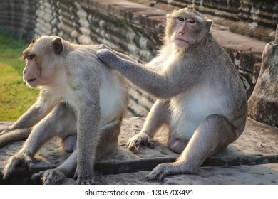 Two Monkey Find a tick and look at the camera at Angkor Wat in Siem Reap, Cambodia