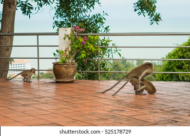 Variant does Picture of monkey having sex