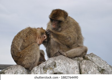 Two monkeys grooming each other. Furry Barbary macaque apes sitting on rock cliff in Gibraltar. Primate animals social grooming behavior