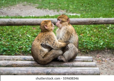 Two monkeys looking like they are kissing